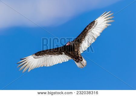 Turkey Vulture (cathartes Aura) Soars Against A Blue Cloudy Sky With Wings Fully Spread
