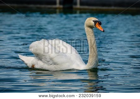 Single Swan In The Water On Lake Constance