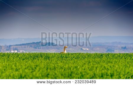 Single Goose On A Green Hill Looking Lonely