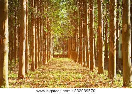 Row Of High Rubber Trees On Both Left And Right Side With Beautiful Morning Sunlight