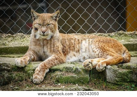 Long Shot Of Wounded Lynx In A Cage