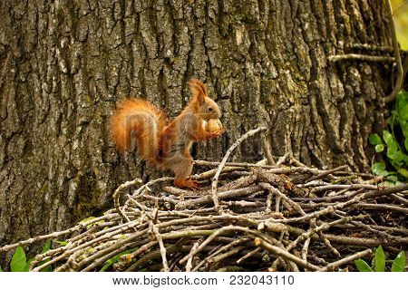 Red Squirrel On Autumn Forest. Squirrel With A Nut