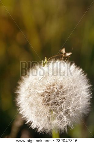Small Insects. A Young Grasshopper On A Dandelion And A Mosquito Above It On A Warm Summer Evening I