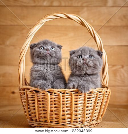 Purebred Cats. Pets. The Gray Color Scottish Fold Cats Sits In A Wicker Basket. A Playful Kittens. C
