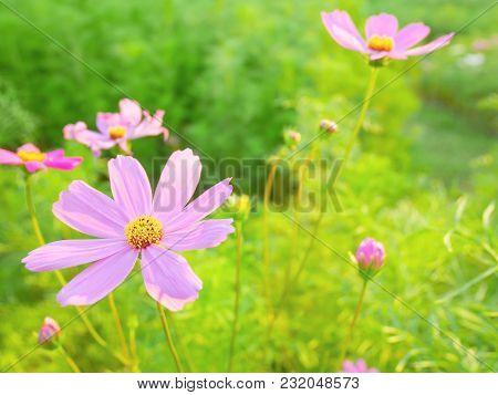 Pink Cosmos Flowers Or Sulfur Cosmos Blooming In The Field