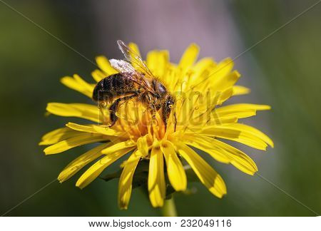 Bee Collects Nectar On A Yellow Flower