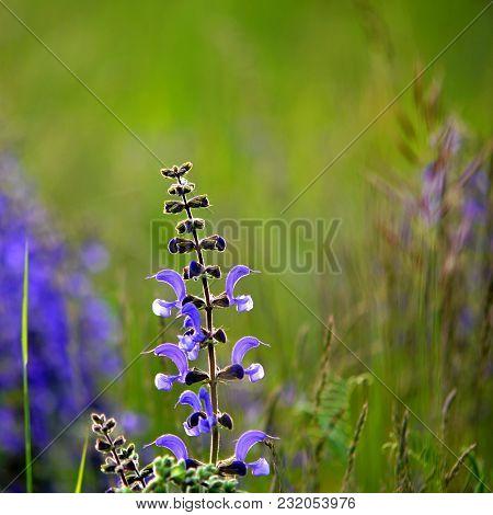 Flowering Sage In Spring Meadow In Sunshine