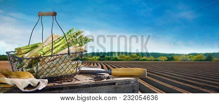 Basket of white and green asparagus in front of asparagus field in spring