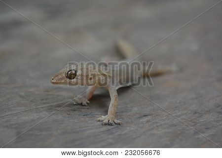 Lizards Are Out For Food. Eye Catching Victims.