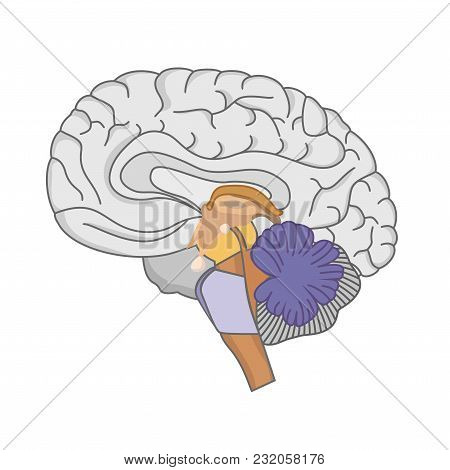 Human Brain Anatomy. Human Brain On White Background.