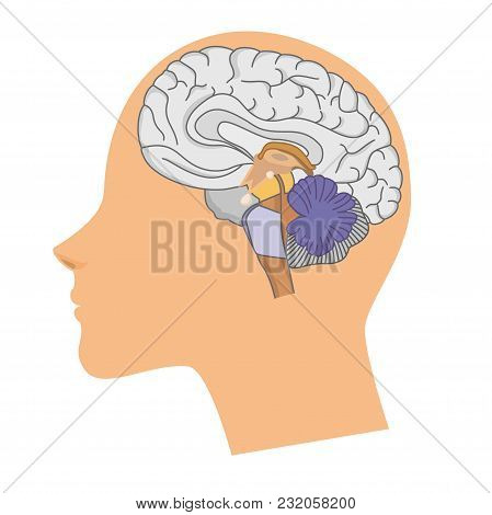 Head Of A Woman With A Brain In A Cut On White Background.