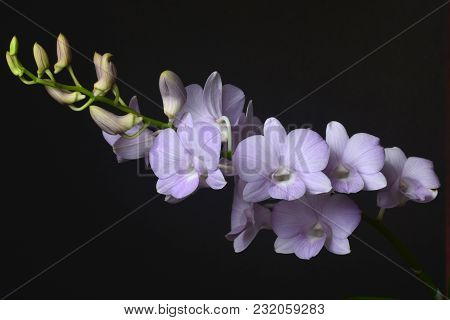 Dendrobium Snoia Is A Commercial Hybrid Which Is Popular As Cut Flower And Potted Plant  In Thailand