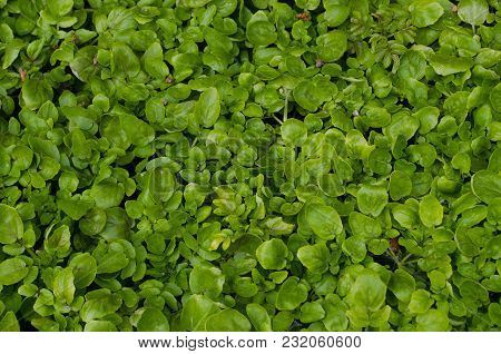 Lemna Minor - Very Shallow Floating On The Surface Water A Plant