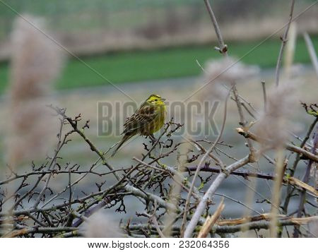 Yellowhammer Perched On Top Of Hedge With Common Reeds In The Foreground