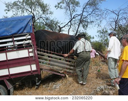 Alora, Spain - September 11, 2011: Bull Being Loaded Onto Lorry At Local Fiesta In Andalusia