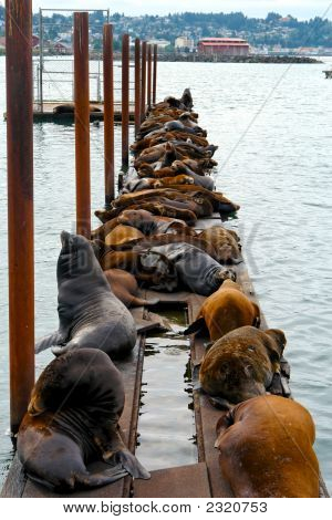 Gaggle Of Seals