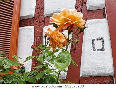 Salmon-colored Climbing Roses Against The Half-timbered House Wall
