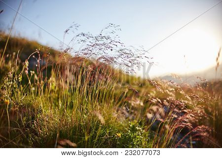 Blade Of Grass Swaying In The Wind In The Sunset Macro Photo Closeup. Spikelets Against The Sun In T