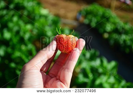 Asian Woman Hand Hold Organic Fresh Strawberry Over Strawberry Field Background Under Sun Light, Agr
