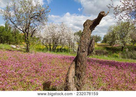 Cut Almond Tree In A Field With Purple Flowers In Spring In Cyprus