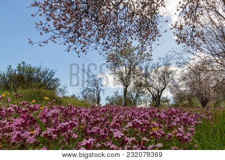 Purple Flowers In A Field Of Blossoming Almond Trees During Early Spring In Cyprus