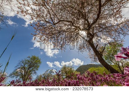 Blossoming Almond Tree And Purple Flowers In A Field During Early Spring In Cyprus