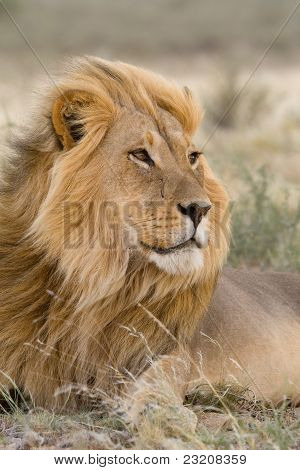 Male Kalahari Lion In The Wind