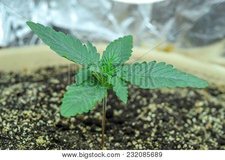 Young Hemp Cannabis Marihuana, Shoots Through The Ground