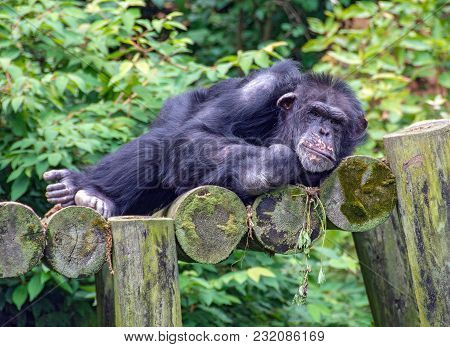 Reclining Chimpanzee On Rustic Logs With Green Foliage Background