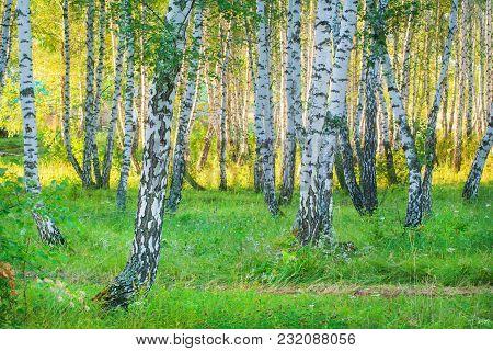 White Birch Trunks. Summer Evening Sunny Forest.