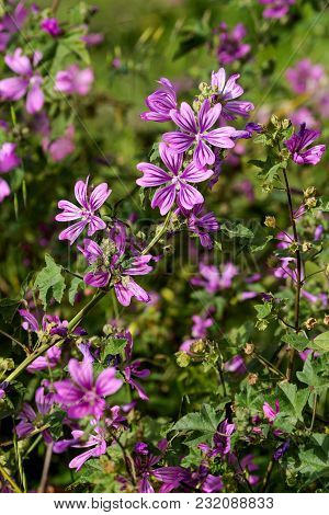 Mallow (malva Sylvestris) Grows And Blooms On A Meadow On A Sunny, Spring Day Close Up