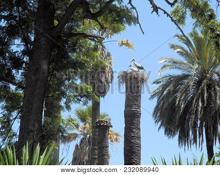Stork Couple On A Dead Palm. Two Storks Stand In Their Nest On The Trunk Of A Dead Palm Tree. Taken