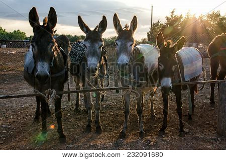 Four Donkeys Farm In A Cypriot Village In Sunset Near Fence
