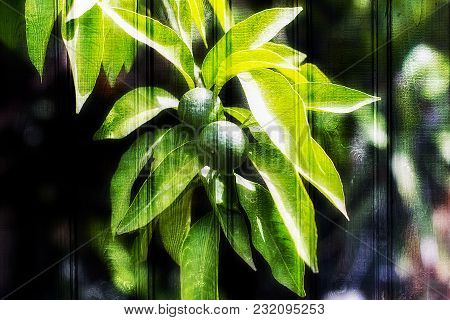 Unique Texture, Wooden Background And Green Tangerines On A Branch Of Budding