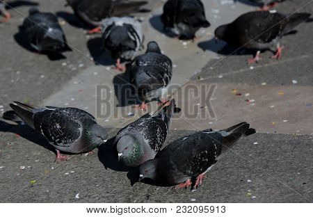Many Grey Pigeons In The Square Of Saint Mark In Venice Italy