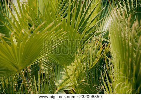 Close-up Of Palm Leaves, Concept Summer, Rest