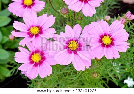 Pink Gerbera Daisy Flowers With Yellow Blossom