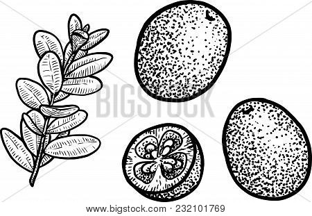 Cowberry Or Cranberry Illustration, Drawing, Engraving, Ink, Line Art