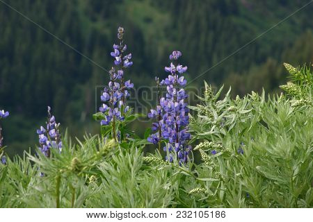 Lupinus Or Lupine Is A Regularly Appearing Wildflower In The Olympic And Cascade Mountains I  Washin