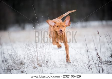 Crazy Photo Of Happy Hungarian Vizsla Pointer Dog On Snow