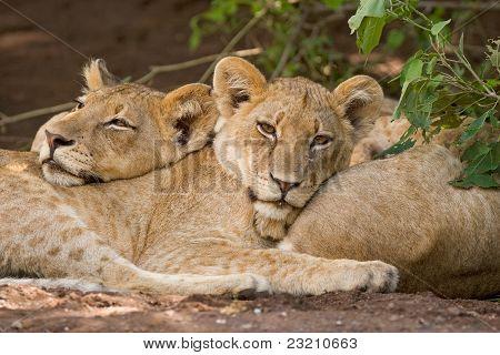 zwei Lion cubs