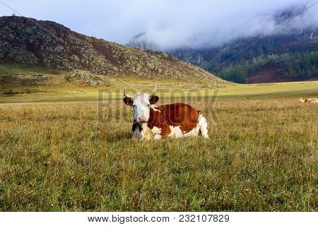 The Landscape Of Altai Mountains With Cow In A Meadow, Siberia, Altai Republic, Russia.