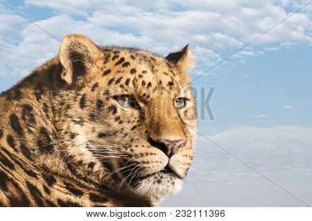 Beautiful Amur leopard against blue sky and cloud background. A species of leopard indigenous to southeastern Russia and northeast China, and listed as Critically Endangered. Space for text.