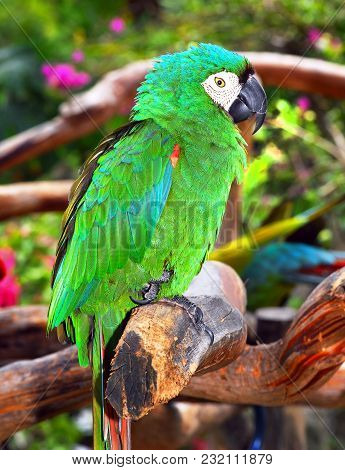 Green Macaw Parrot Standing On Tree Branch.