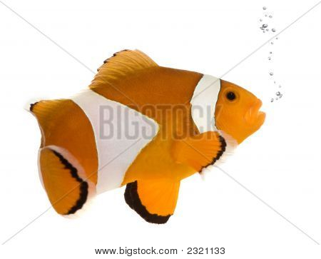 Orange Clownfish - Amphiprion Occelaris