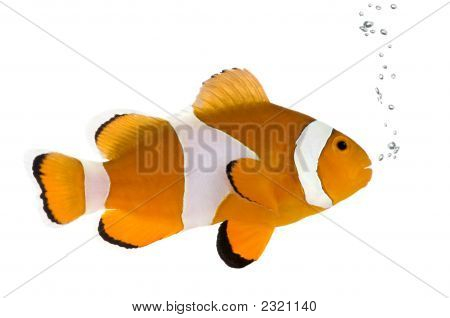 Orange Clownfish - Amphiprion Occelaris