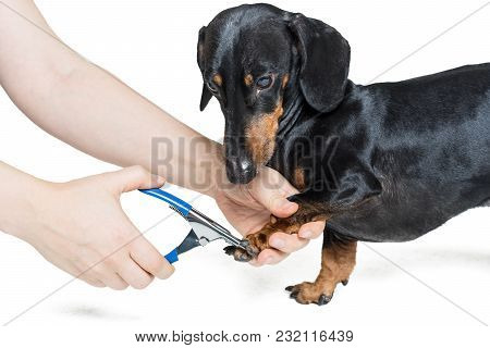 Human Hand Cutting Dog Dachshund, Black And Tan, Toenails Isolated On White Background