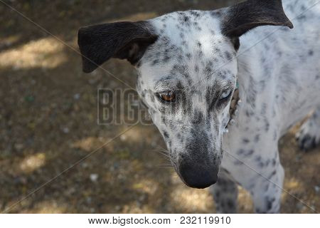 Two Color Eyes On An Aruba Cunucu Dog With White And Black Spots.