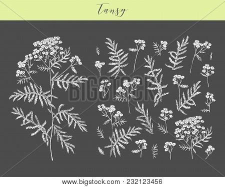 Vector Hand Drawn Medicinal, Cosmetics Herb Tanacetum Vulgare. Tansy Plant.