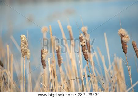Brown Reed Or Cattail In Blue Lake On Summer Day